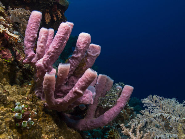 As esponjas são animais invertebrados classificados como poríferos.
