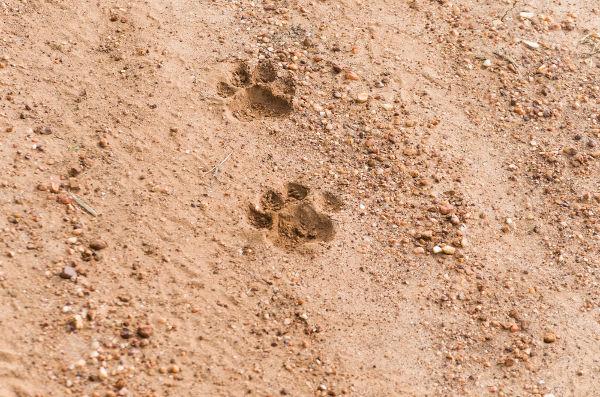 As onças são encontradas em diferentes ambientes, que vão desde florestas até ambientes abertos.