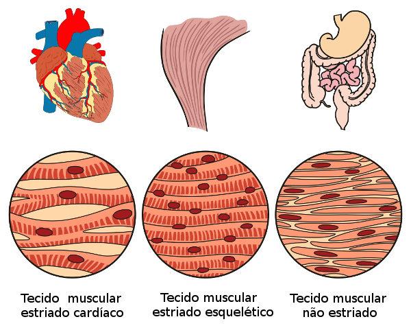 O tecido muscular apresenta capacidade de contração e pode ser classificado em três tipos diferentes.