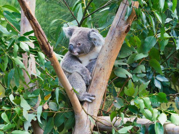 Os coalas estão classificados como vulneráveis.