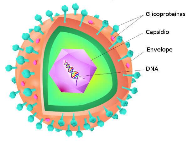 Observe a estrutura básica de um vírus.
