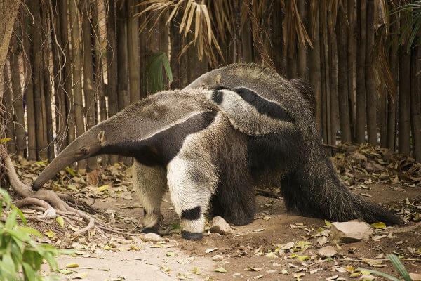 O tamanduá-bandeira é um animal nativo da América que está classificado como vulnerável.