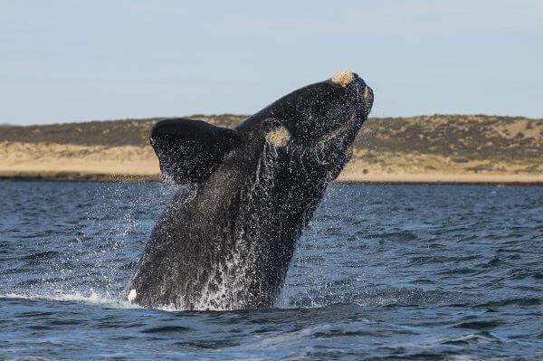 A baleia-franca-austral não possui nadadeira dorsal.