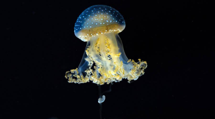 As águas-vivas apresentam células que liberam substâncias urticantes.