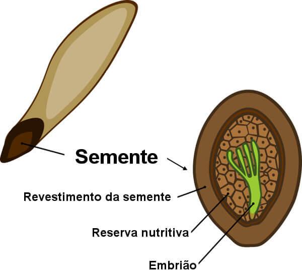 Observe as principais partes da semente.