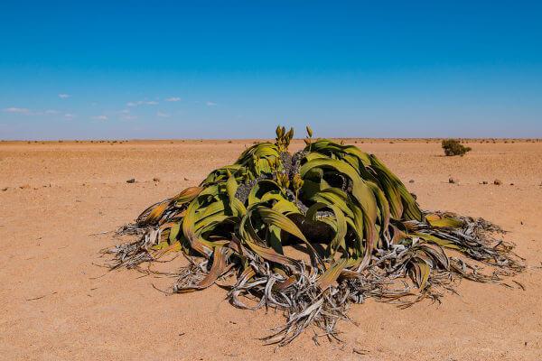 A Welwitschia é uma planta encontrada em desertos da África.