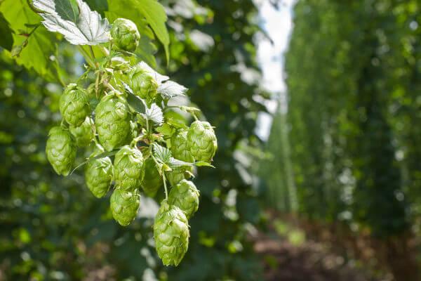 O lúpulo é cultivado, principalmente, no hemisfério Norte.