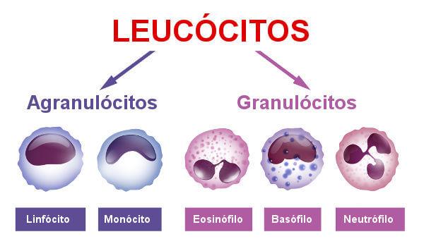 Existem diferentes tipos de leucócitos.