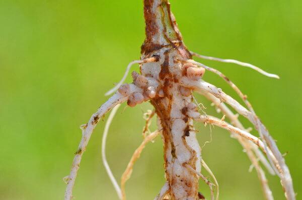 Observe na foto os nódulos formados nas raízes das leguminosas.