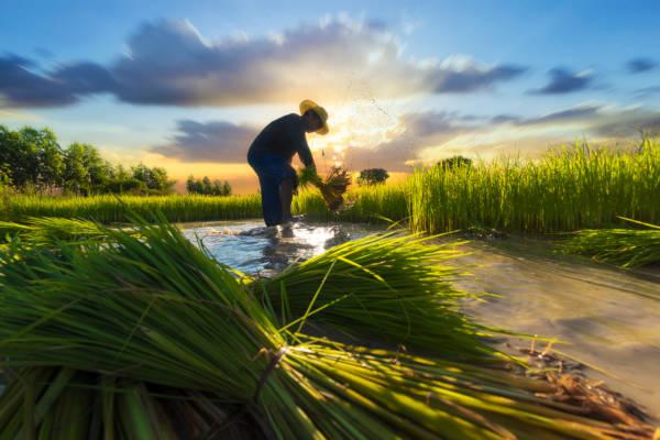 Um dos maiores destaques da agricultura na Ásia é a produção de arroz.