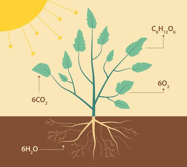 A fotossíntese é um dos temas abordados na fisiologia vegetal.