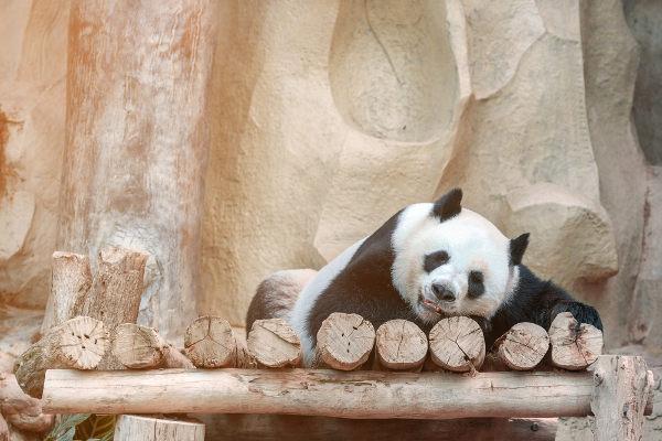 Em cativeiro um panda pode sobreviver mais de 30 anos.